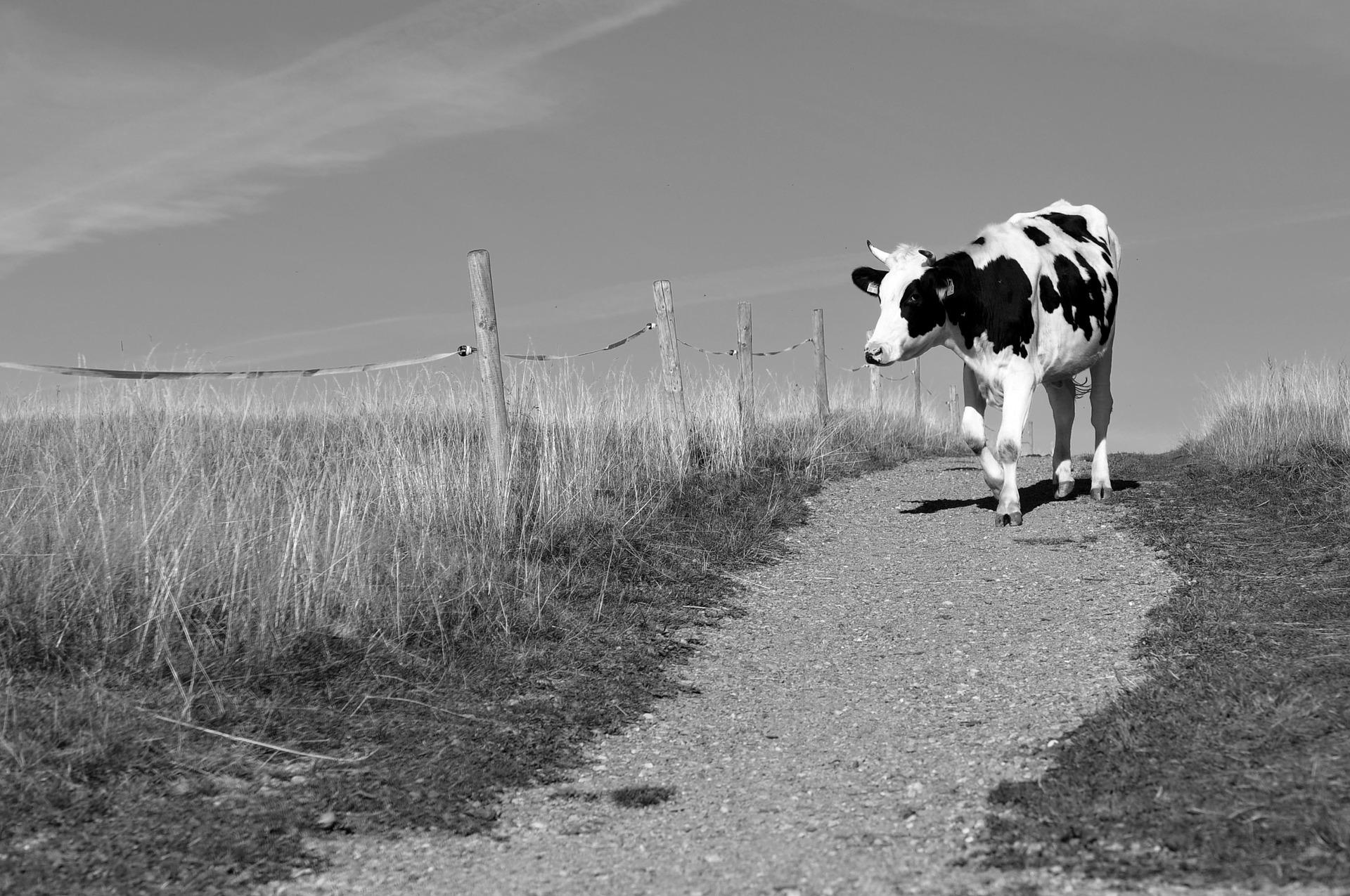 %name cow