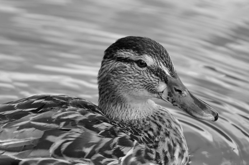 %name ducks