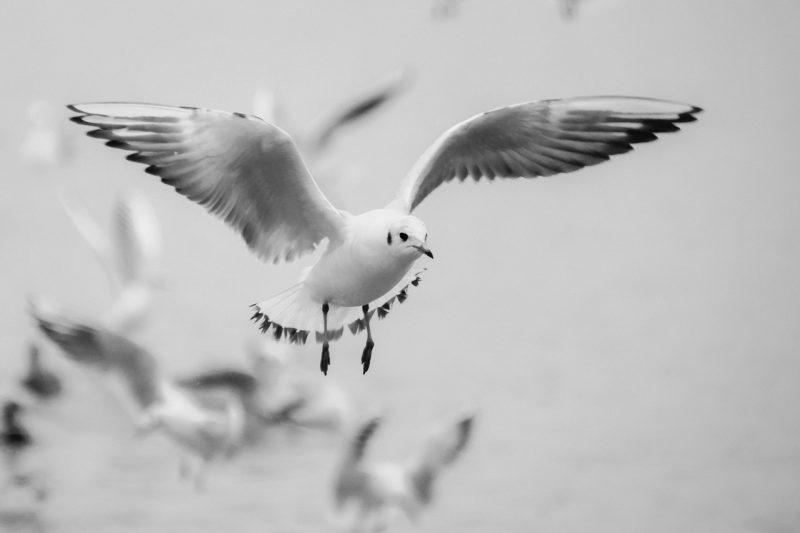 %name Seagull